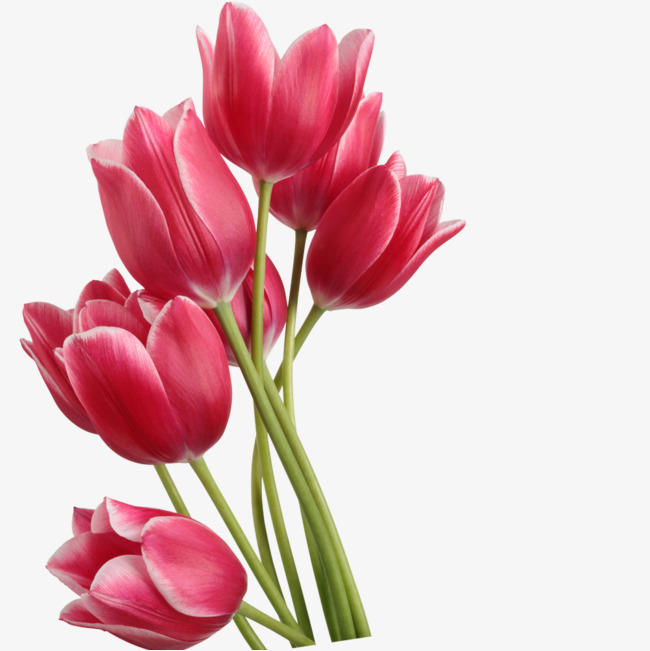650x651 Tulips Png, Vectors, Psd, And Icons For Free Download Pngtree