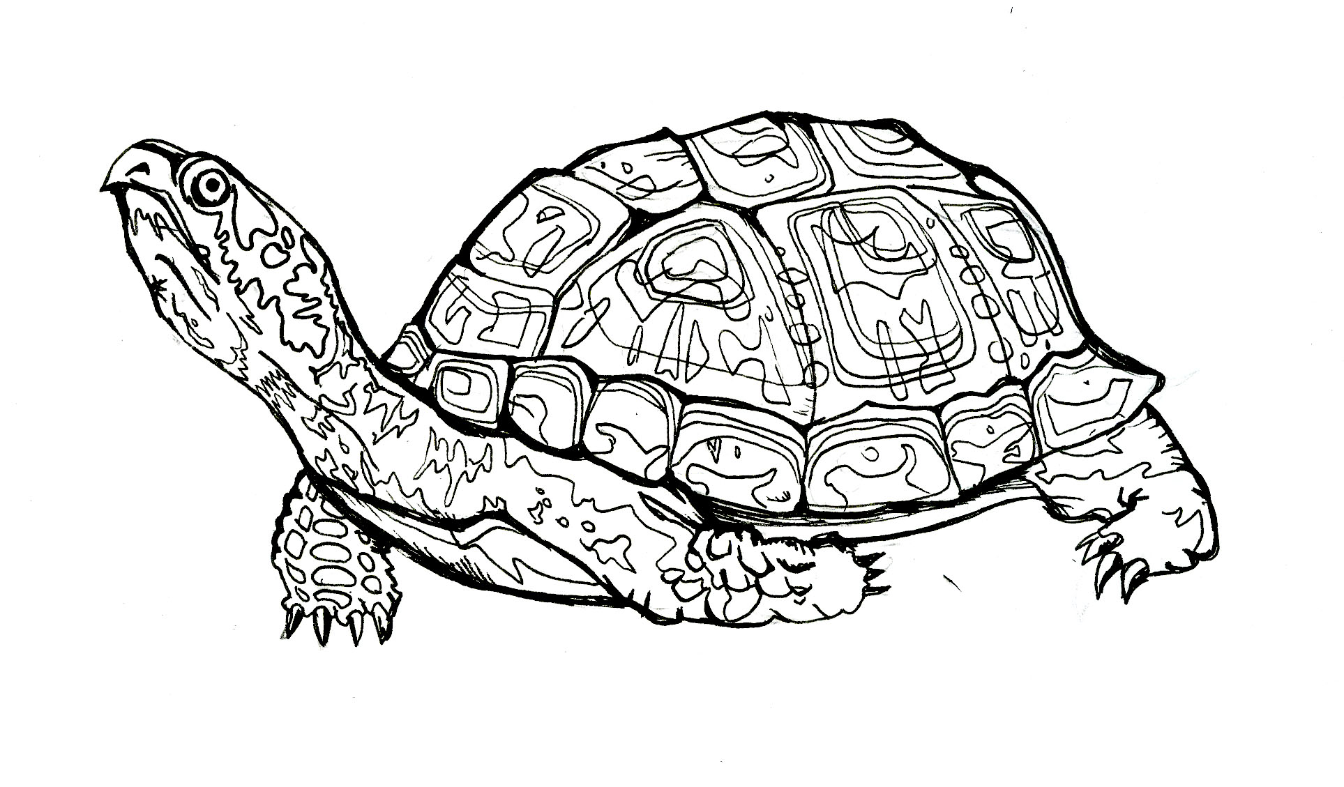 1927x1129 Tortoise Clipart Box Turtle
