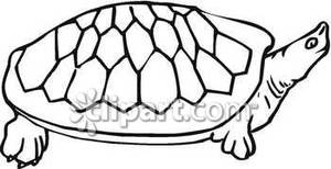 300x154 And White Soft Shell Turtle
