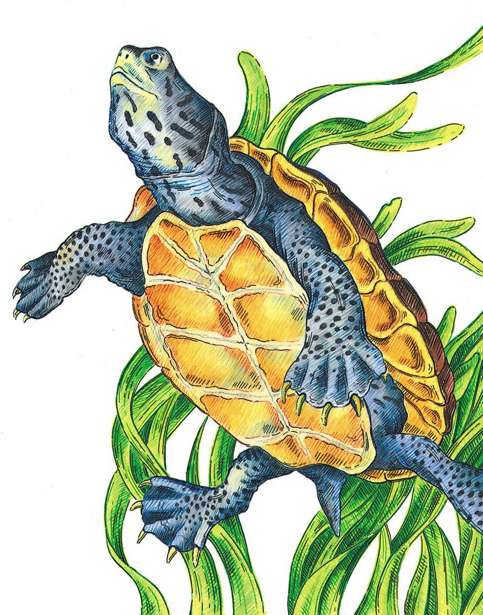 943x1200 Diamondback Terrapin Turtle Picture, Color Pencil Drawing, Print
