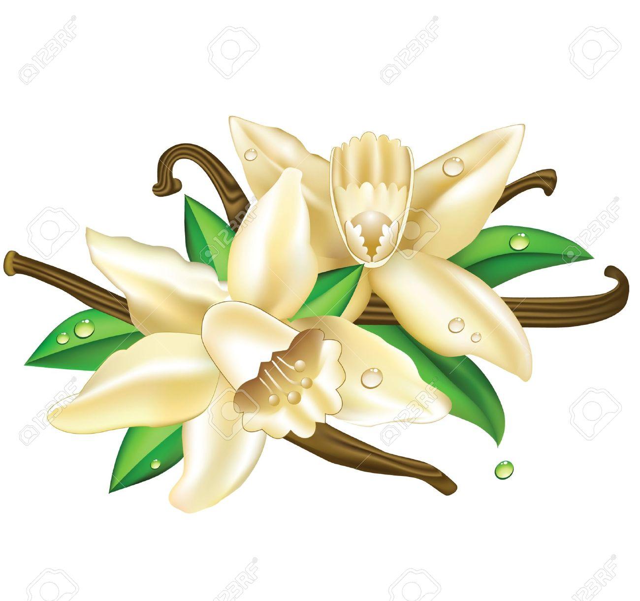 1300x1221 Vanilla Clipart Vanilla Flower