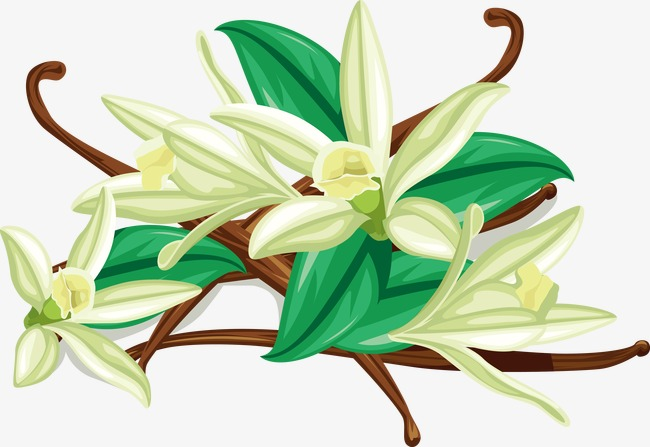 650x447 Hand Painted Vanilla Flower, Hand Painted, Herb Flower, Herb