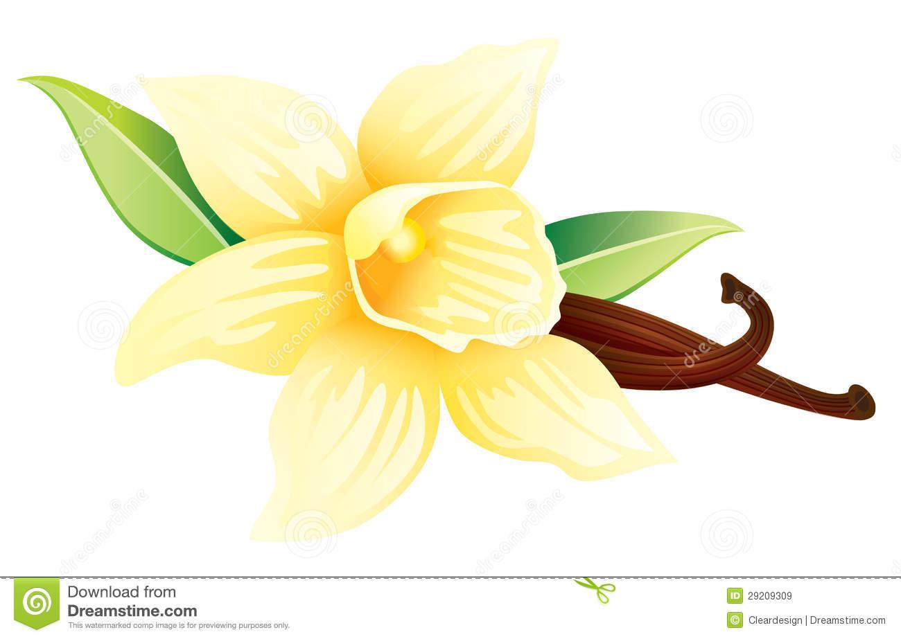 1300x923 Vanilla Clipart Vanilla Bean
