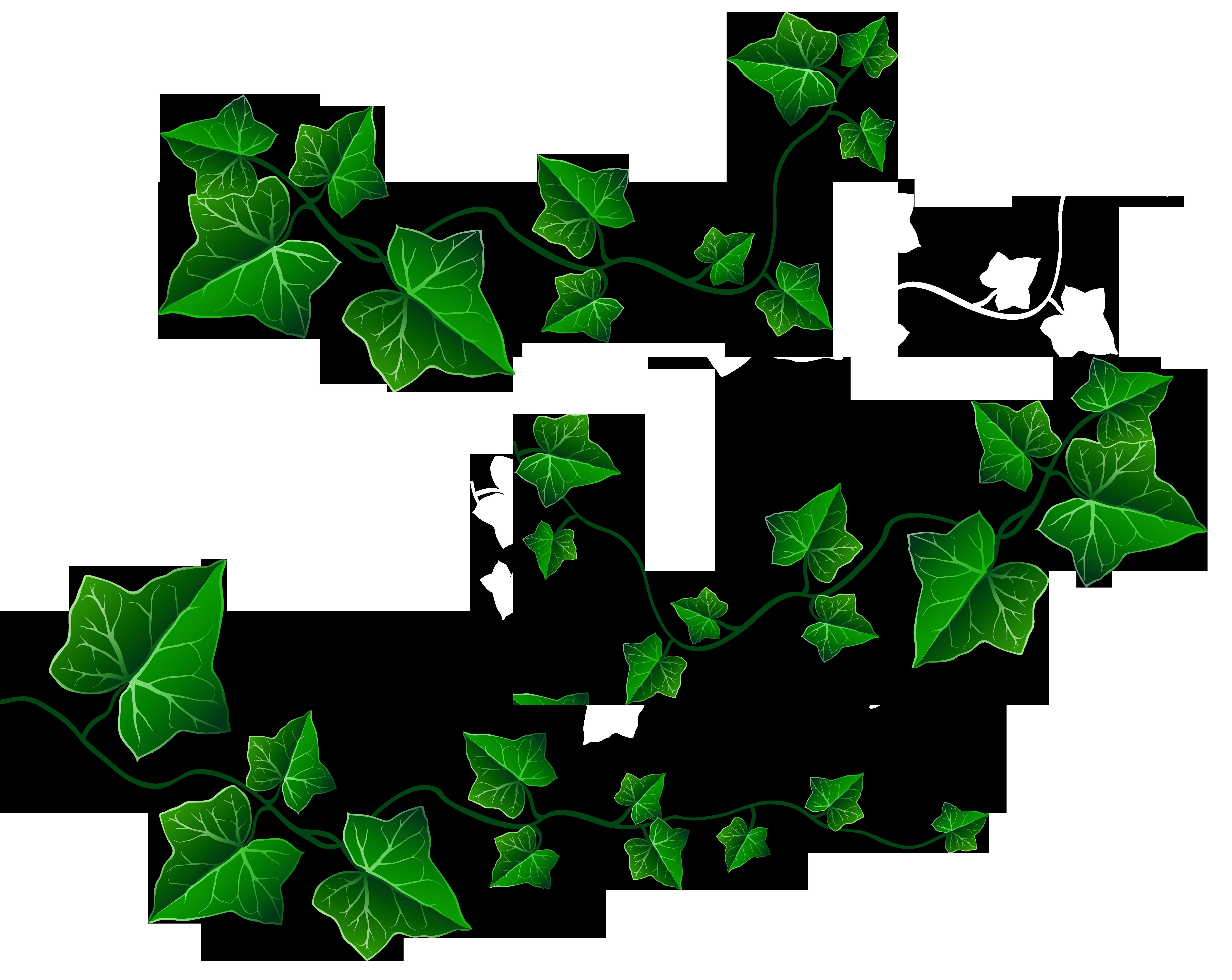 6240x4964 Decoration Clipart Leafy Vine
