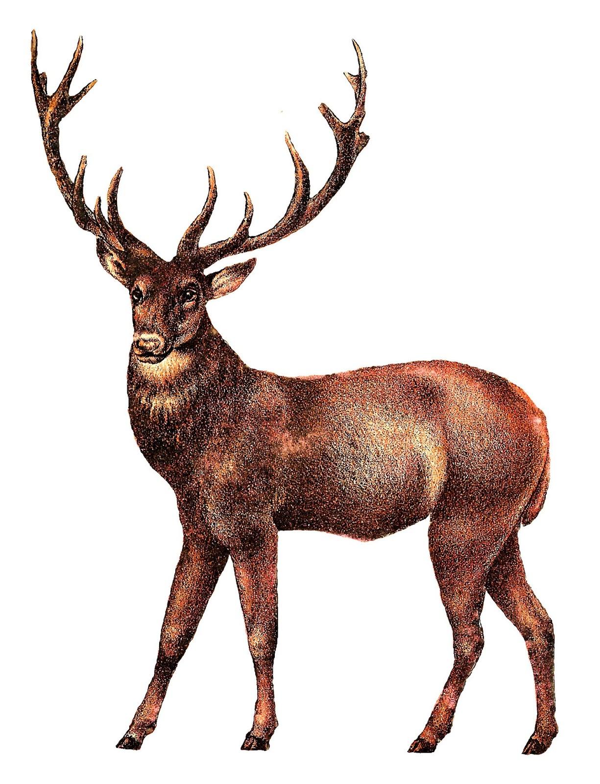1225x1600 Antique Images Antique Illustrations Animal Digital Clip Art Deer