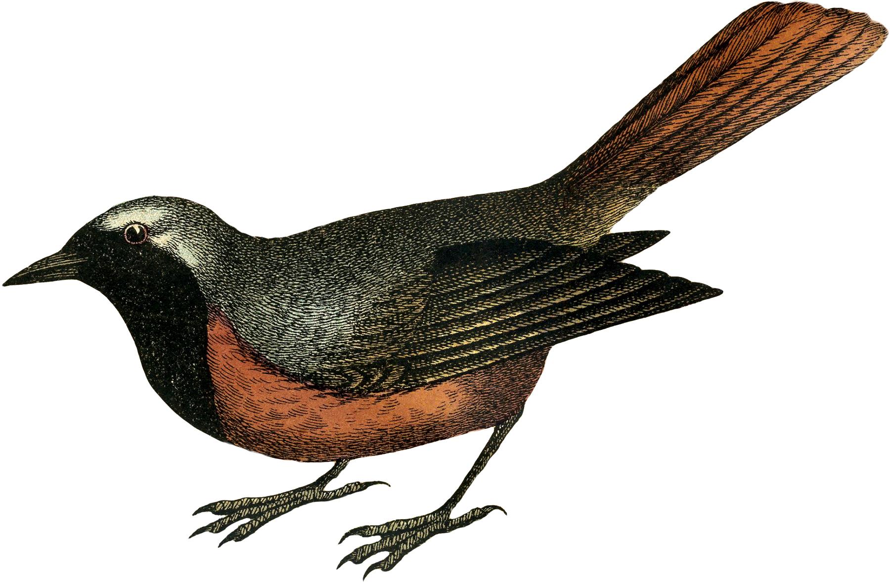 1800x1179 Vintage Bird Engraving!