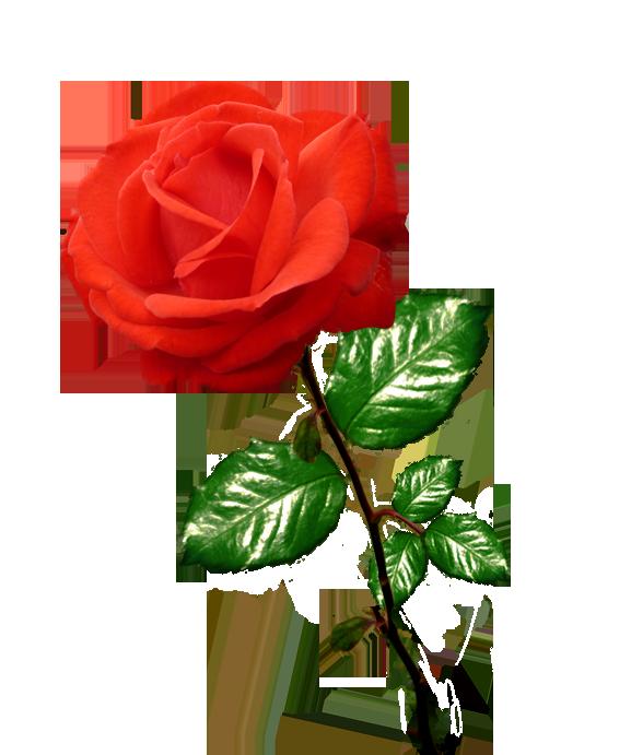 577x691 Innovation Ideas Clip Art Roses Free Vintage Rose Pretty Things