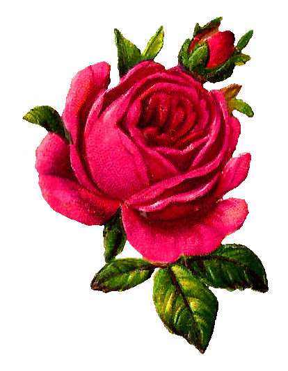 414x534 Pink Rose Clipart Illustrated