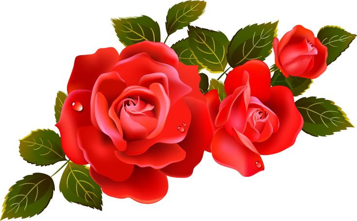 736x455 Red Flower Clipart English Rose