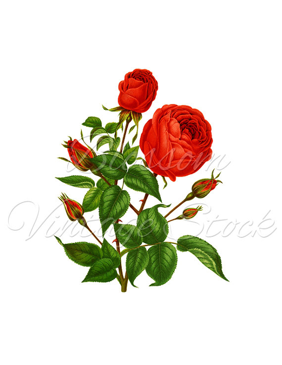 570x738 Red Rose, Vintage Rose Clipart, Rose Vintage Graphic, Rose Digital