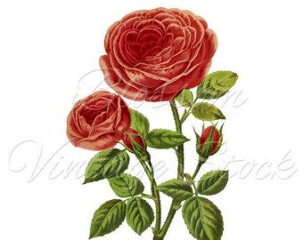 340x270 Rose Clip Art Flower Wall Art Print Clipart Transparent