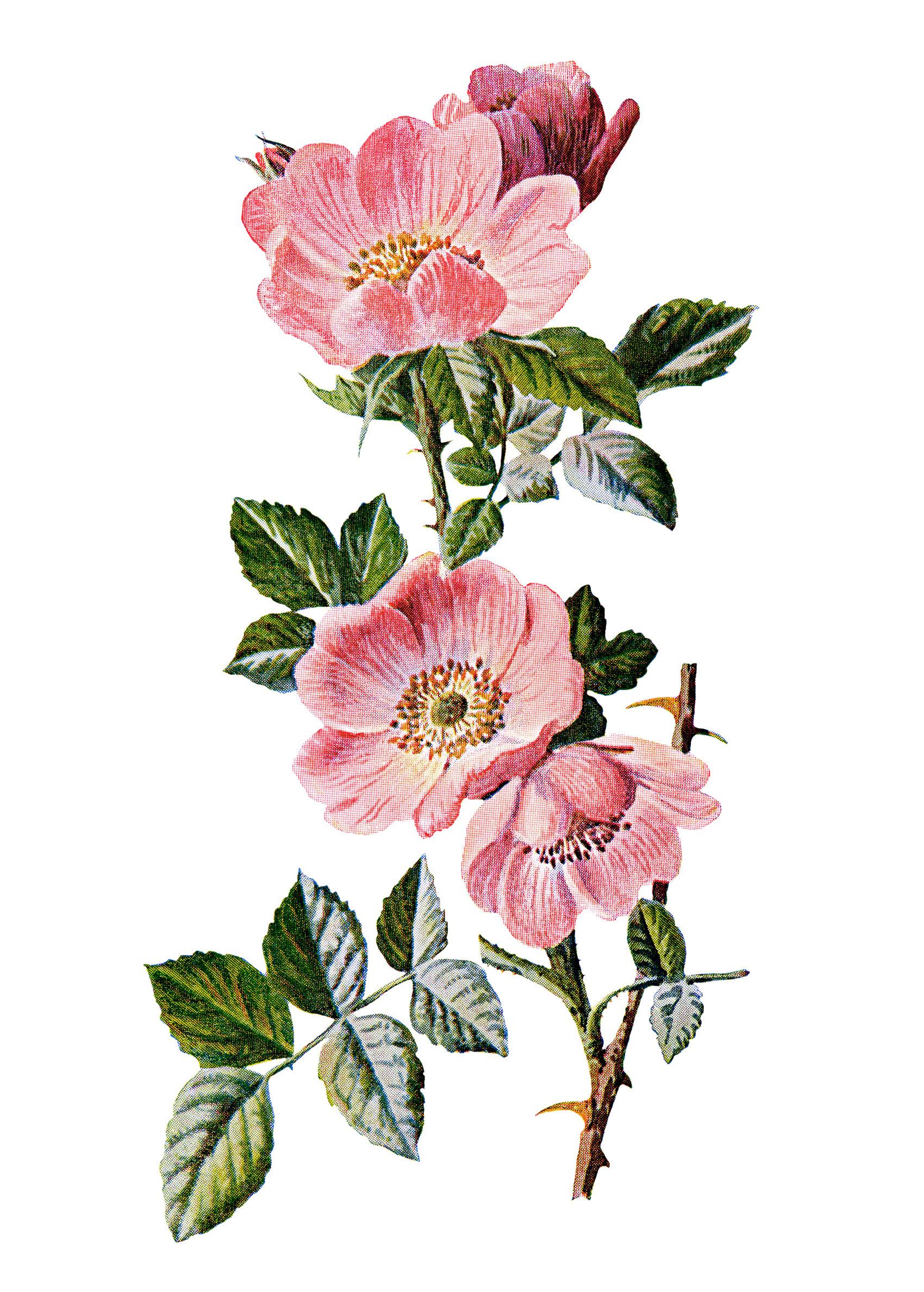 1700x2376 Sweet Briar Rose Old Design Shop Blog