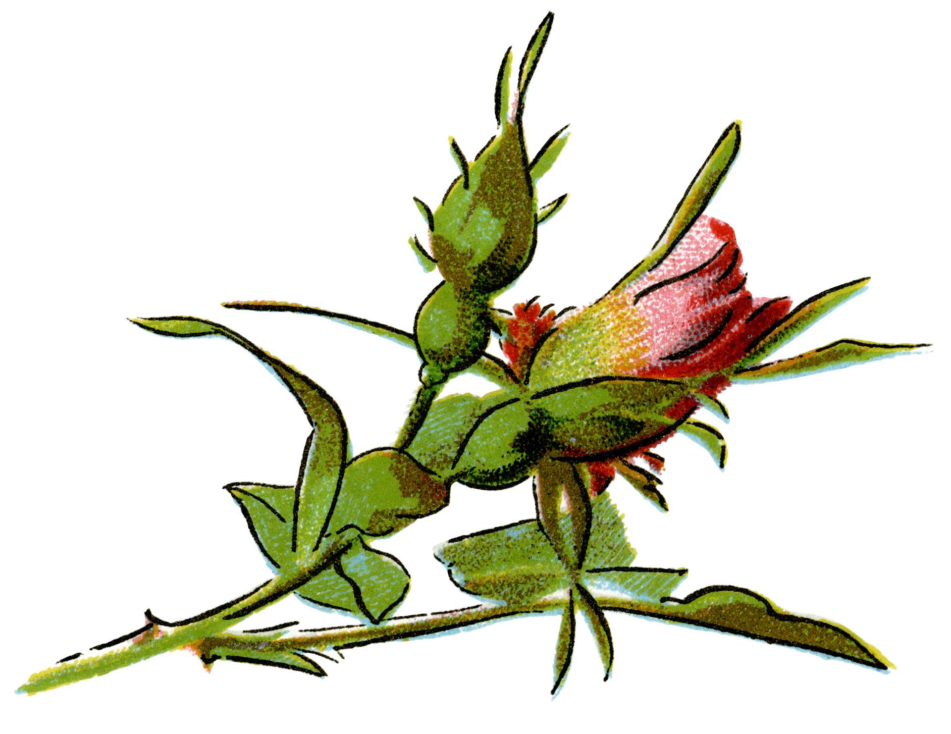 1920x1482 Vintage Rose Illustration Old Design Shop Blog