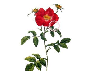 340x270 Vintage Rose Clipart Etsy