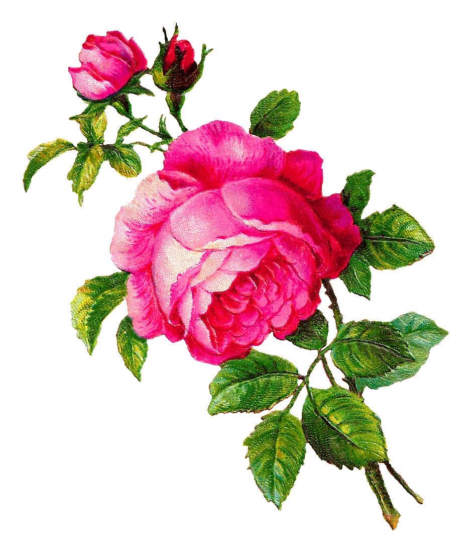 940x1098 Antique Images Digital Rose Illustration Pink Flower Botanical