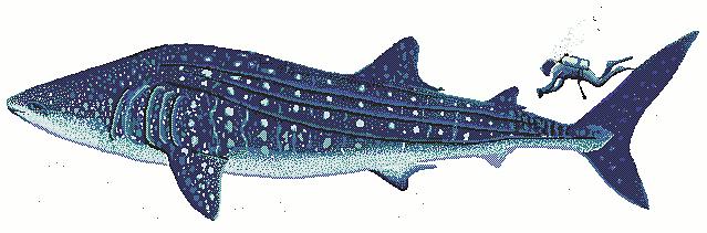 639x211 Whale Shark Clipart
