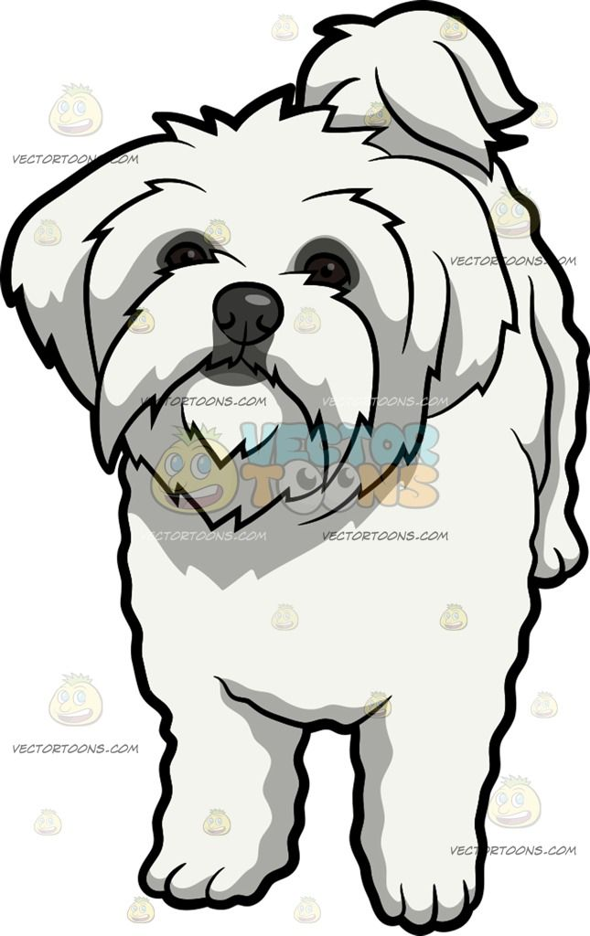 645x1024 An Intrigued Maltese Dog A Dog With Long White Coat And Droopy