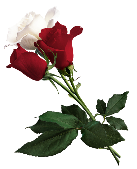 White Rose Png Free Download Best White Rose Png On Clipartmag Com