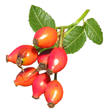363x373 Graphics For Graphics Rose Hips