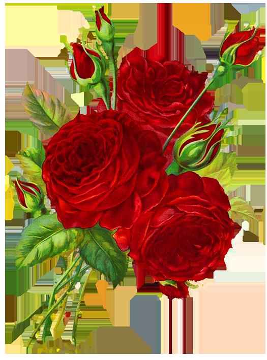 525x709 Rose Drawings