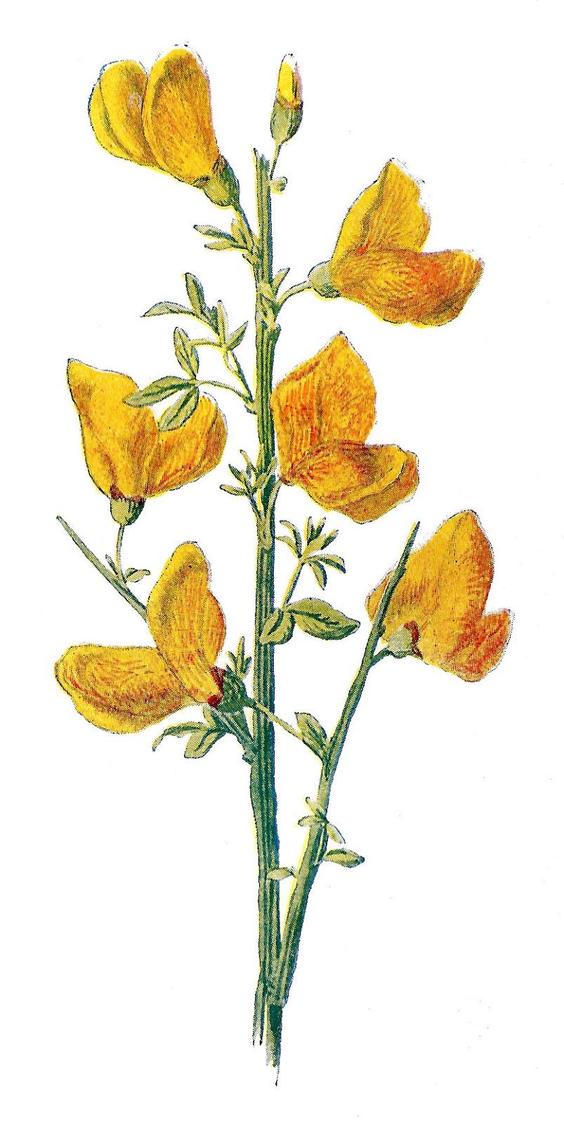 803x1600 Clipart flower wild