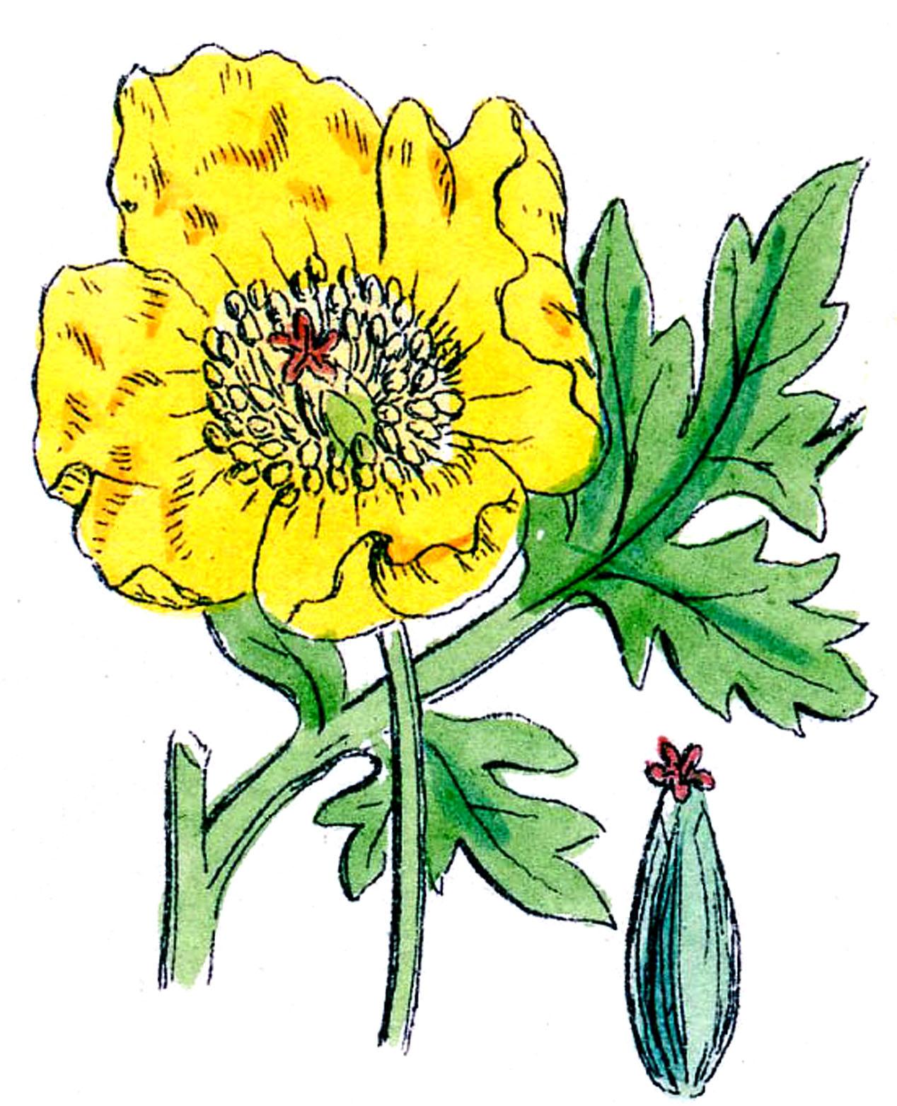 1268x1563 Vintage Botanical Clip Art