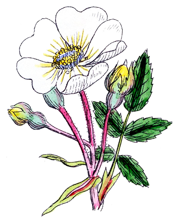 1188x1500 Vintage Botanical Graphics