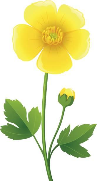 330x612 Buttercup Clipart Big Flower