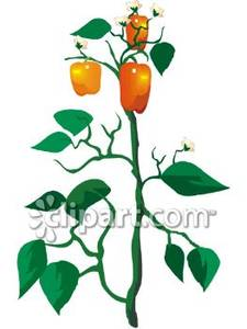 225x300 Orange Bell Pepper Plant Royalty Free Clipart Picture