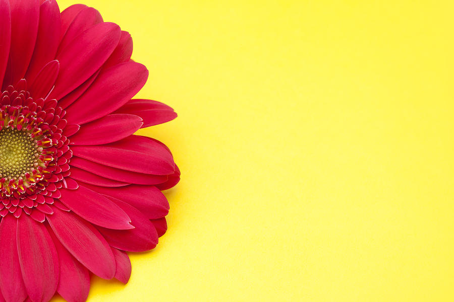 900x600 Pink Gerbera Daisy On Yellow Background Photograph By Jill Fromer