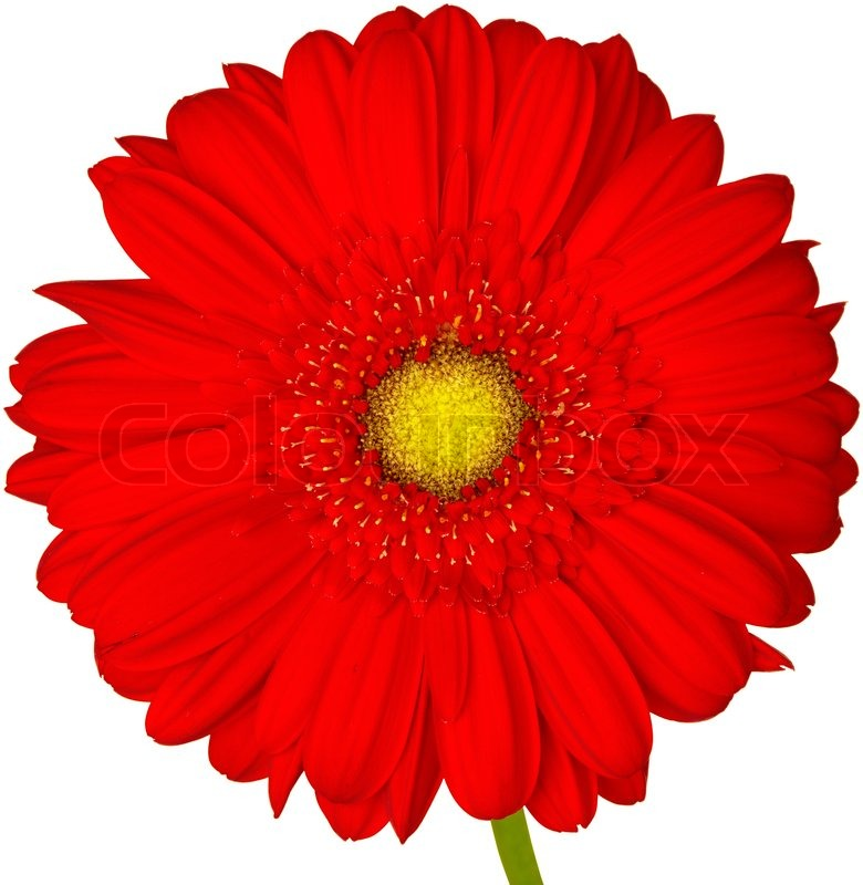 780x800 Red And Yellow Gerbera Daisy Isolated On White Background
