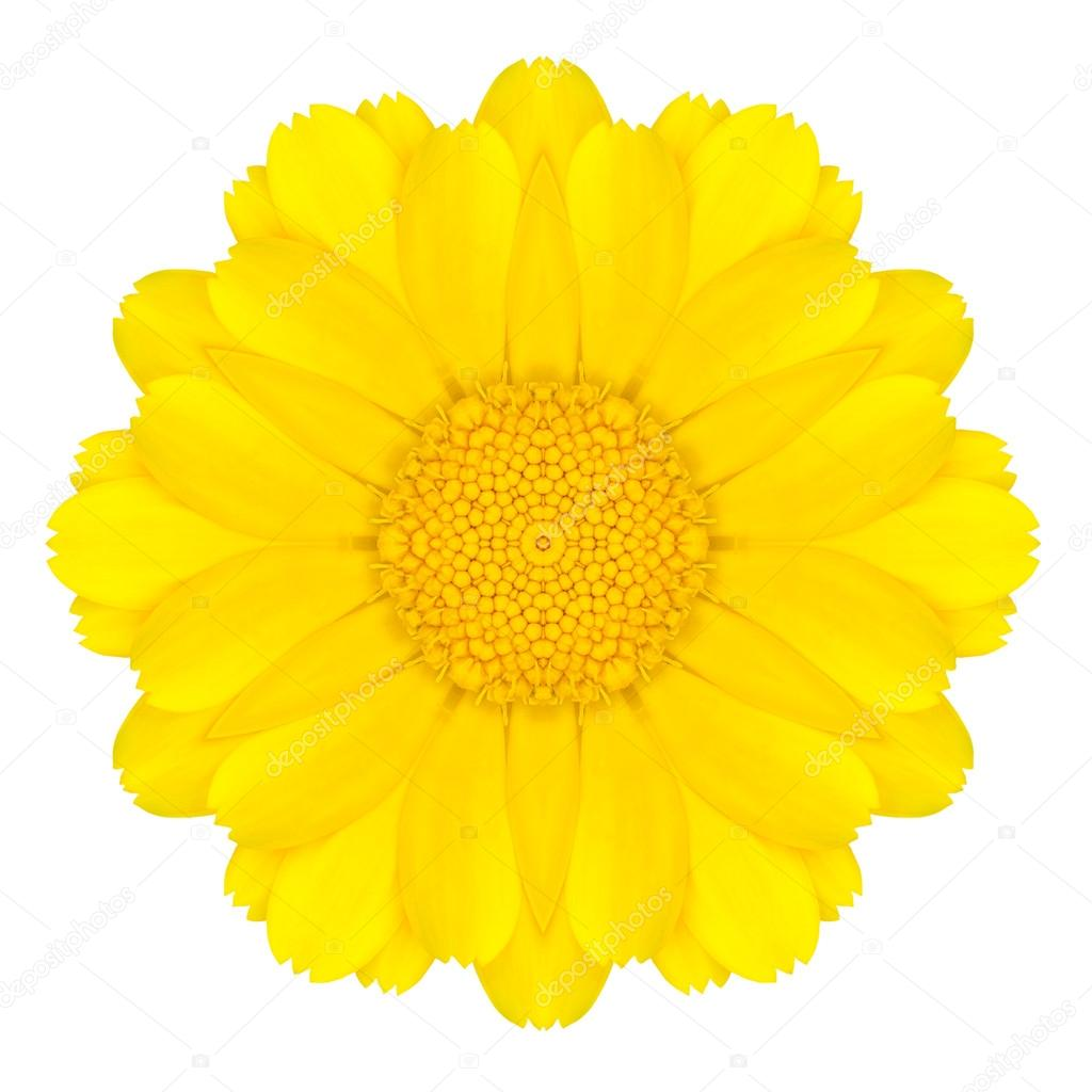 1024x1024 Yellow Concentric Daisy Flower Isolated On White. Mandala Design