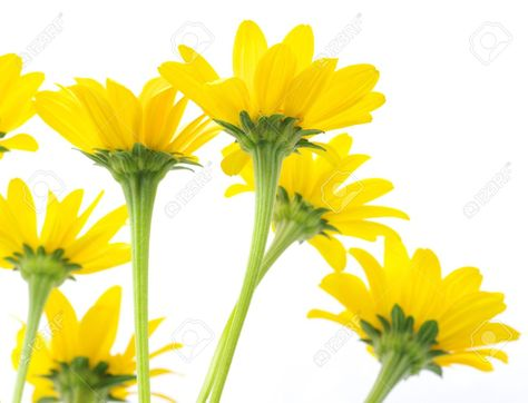 474x362 Yellow Daisy Flower Images Daisys