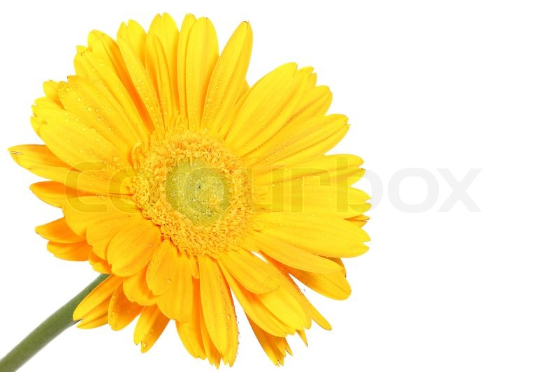 800x533 Yellow Daisy Flower Isolated On White Stock Photo Colourbox