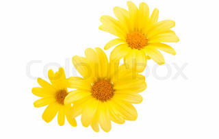320x203 Yellow Daisy Flower Isolated On White Background Stock Photo