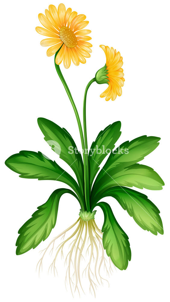 564x1000 Yellow Daisy With Roots Illustration Royalty Free Stock Image