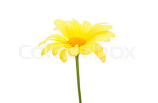 320x209 Yellow Gerbera Daisy Flower Stock Photo Colourbox