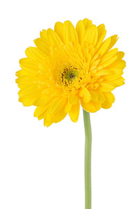 199x300 Yellow Gerbera Daisy Flower Isolated On White Background. Royalty