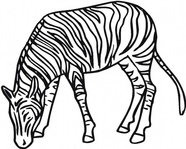 600x480 Zebra Eating Grass Coloring Page
