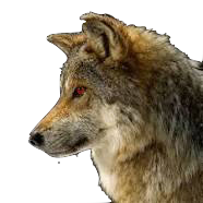 A wolf with red eyes... Oh my........